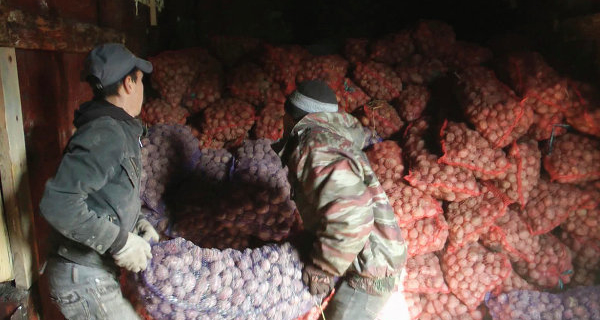 The agriculture Ministry expects that in Russia in 2015 to collect 31.5 million tons of potatoes