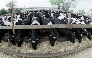 "Leningrad region presented the ""Golden autumn"" cattle feedlots full cycle"