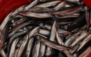 Russia and Norway have abandoned industrial fishing of capelin in 2016