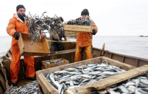 Kozhemyako: we need to shift fish companies on the system of public bidding