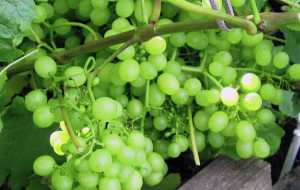 In the state Duma introduced a project empowering the importation of grapes