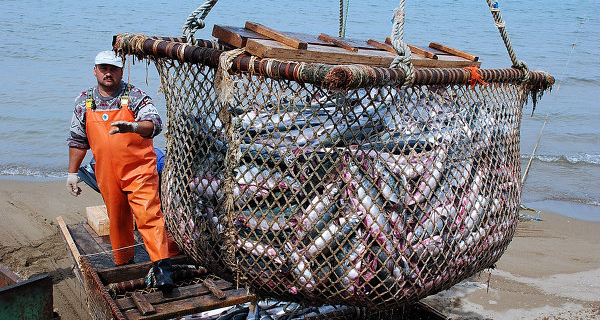 Rosrybolovstvo: allowable catch in Russia in 2016 will grow by 2.3%