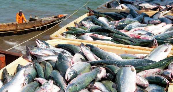 """Fish stock"" Sakhalin will go to the Federal level"