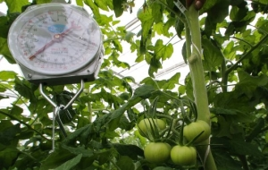 Japanese vegetables from greenhouses near Khabarovsk will be in stores in February