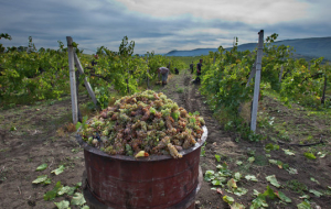 Crimea will build the nursery seedlings of grapes to replace their imports