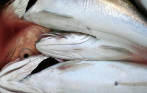 Kaliningrad authorities plan to increase the production of fish products