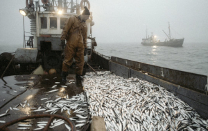 Putin instructed to increase the period of validity of quotas for fish up to 15 years