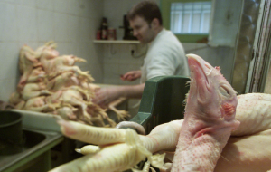 Of the Russian Federation from December 1, have banned chicken exports from the Turkish company