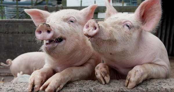 Russia will limit the supply of pork products from Ukraine