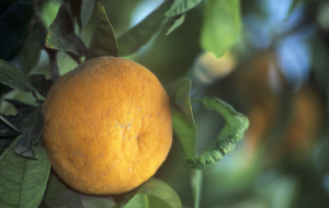 Khloponin: Abkhazian tangerines may substitute Turkish for the Russian market