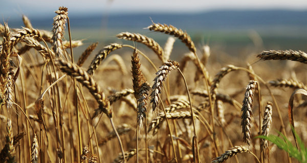 China has allowed the import of wheat grown in four regions of Russia