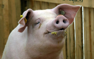 Rosselhoznadzor from January 1, has banned the import of pork from Ukraine due to ASF