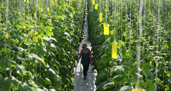 Company: manufacturers of Siberia will benefit from the prohibition of Turkish vegetables