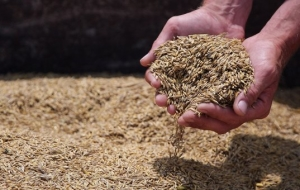 Omsk oblast is ready in 1-2 years to supply seed to other regions