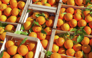 Kuban Rosselkhoznadzor banned the import of 100 tons of oranges from Egypt