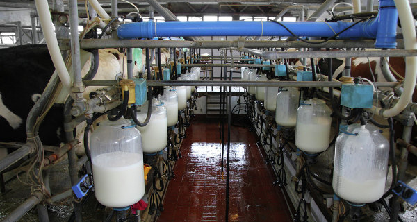 The agricultural complex of the Kolyma river increased the production of milk, vegetables, meat