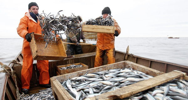 The catch of the fishermen of Kamchatka in 2015 amounted to almost a million tons