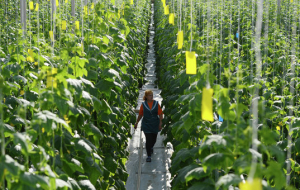 Nizhny Novgorod-complex wants to invest 1.1 billion rubles in new greenhouses
