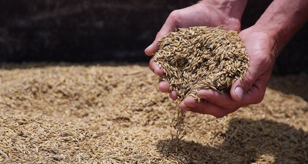 The agriculture Ministry forecasts the grain harvest at the level of 104 million tons