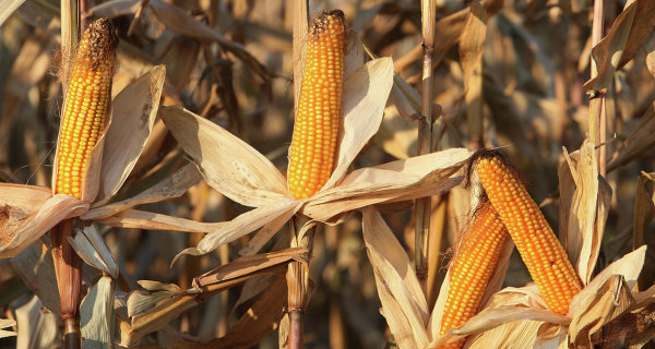 The Rosselkhoznadzor will consider the idea of banning the import of corn and soybeans from the U.S.
