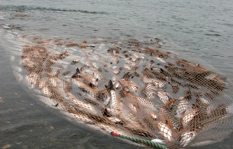 The draft law on prison terms up to 5 years for an illegal catch of fish and seals submitted to the Duma