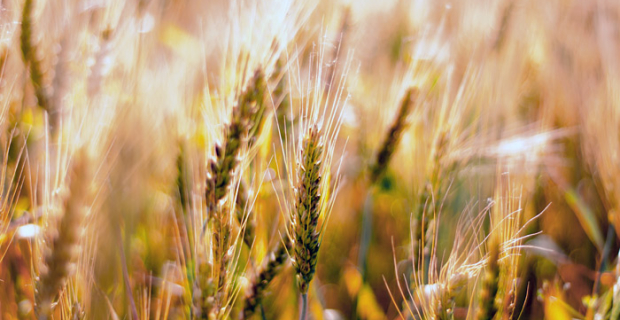 The expert did not rule out advance by Russia in the U.S. in terms of wheat exports