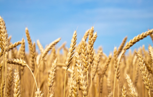 Grain Union asked Medvedev to abolish the export duty on wheat